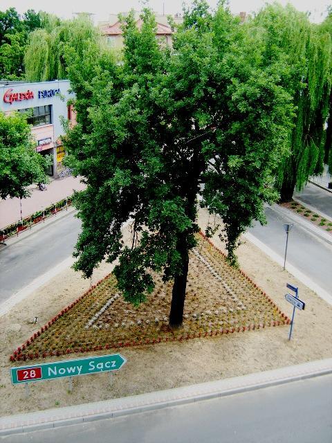 Dąb rosnący przy jednym z jasielskich skrzyżowań jest już słynny na całą Polskę. Czy powstaną o nim jakieś dowcipy? Fot. Damian Palar