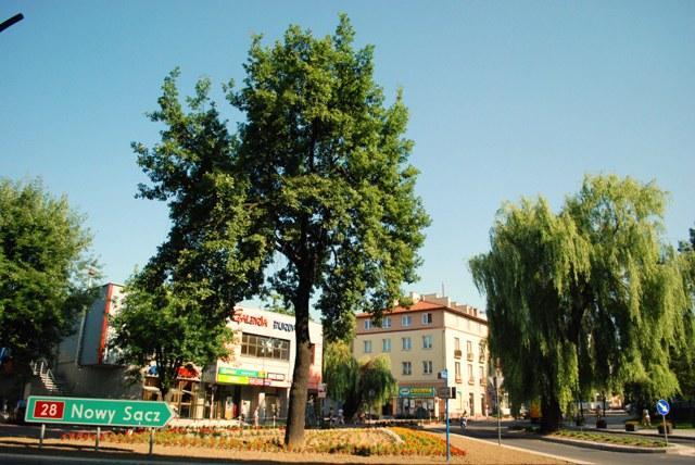 Słynny na całą Polskę dąb rośnie na skrzyżowaniu ulic: Kołłątaja i Kościuszki. Fot. Damian Palar