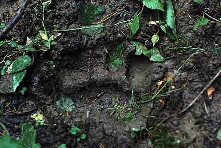 Trop niedźwiedzia fot. Zenon Wojtas