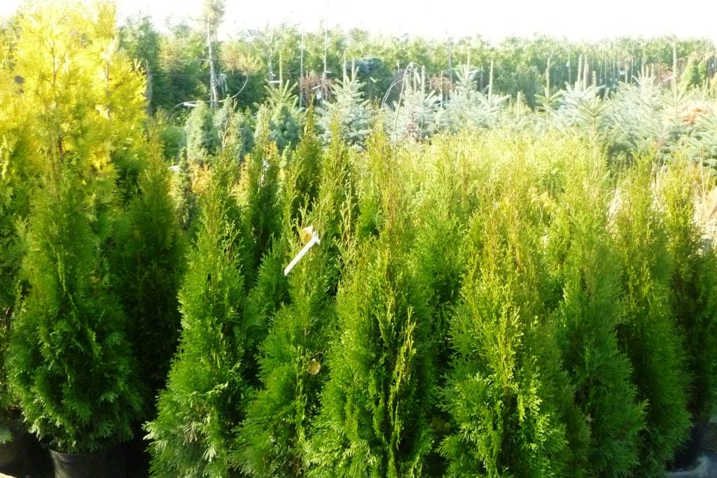 Sadzonki drzew i krzewów dla mieszkańców